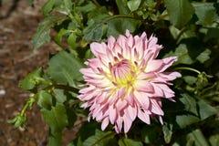 Bella dalia rosa in giardino immagini stock libere da diritti