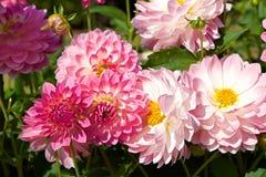 Bella dalia rosa in giardino immagini stock