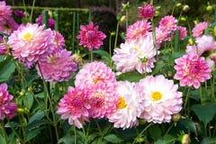 Bella dalia rosa in giardino fotografia stock libera da diritti