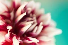 Bella dalia rossa e bianca (Carolina Burgundy) Fotografie Stock