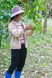 Bella donna che lavora nel giardino del pompelmo. Fotografia Stock Libera da Diritti
