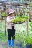 Bella donna che lavora nell'azienda agricola dell'orchidea. Fotografie Stock