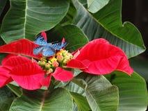 Bella e farfalla Brillante-blu rara di Lasaia che si appollaia su una stella di Natale! fotografie stock libere da diritti