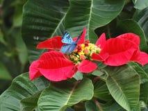 Bella e farfalla Brillante-blu rara di Lasaia che si appollaia su una stella di Natale! fotografia stock
