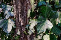 Bella, edera selvatica sulla corteccia di albero nel parco Fotografia Stock