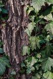 Bella, edera selvatica sulla corteccia di albero nel parco Fotografia Stock Libera da Diritti