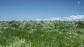 Bella erba d'ondeggiamento della regione selvaggia video d archivio