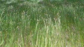 Bella erba d'ondeggiamento della regione selvaggia archivi video