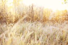 Bella erba gialla su un campo ad una luce soleggiata del sole di mattina Fotografia Stock Libera da Diritti