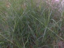 Bella erba naturale ad alba di mattina Immagine Stock