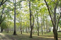 Bella estate con gli alberi ed i raggi del sole Fotografia Stock Libera da Diritti