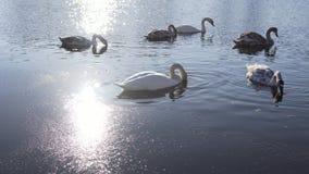 Bella famiglia di uccelli del cigno nel lago winter video d archivio