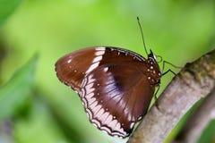 Bella farfalla Fotografie Stock Libere da Diritti