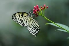 Bella farfalla Fotografie Stock