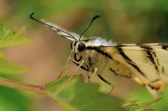 Bella farfalla Immagini Stock Libere da Diritti