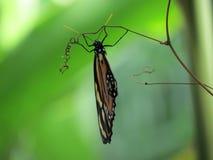 Bella farfalla Immagini Stock