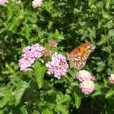 Bella farfalla arancio sulla lantana rosa fotografia stock