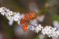 Bella farfalla arancione Immagini Stock
