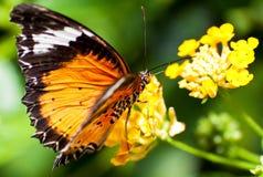 Bella farfalla arancione su un fiore giallo Fotografie Stock