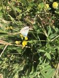 Bella farfalla bianca bronzea di Argo immagine stock libera da diritti