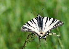 Bella farfalla in bianco e nero Immagini Stock Libere da Diritti