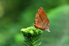 Bella farfalla che assomiglia ad una vecchia foglia fotografie stock libere da diritti