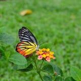 Bella farfalla che si alimenta sui fiori Fotografie Stock
