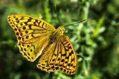 Bella farfalla con le ali gialle immagini stock libere da diritti