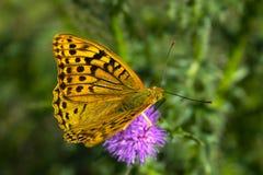 Bella farfalla con le ali gialle immagini stock