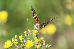 Bella farfalla con le grandi ali sui petali dei fiori gialli immagini stock