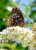 Bella farfalla dalla natura Fotografie Stock Libere da Diritti