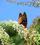 Bella farfalla dalla natura Fotografia Stock Libera da Diritti