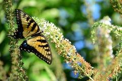 Bella farfalla dalla natura Fotografia Stock