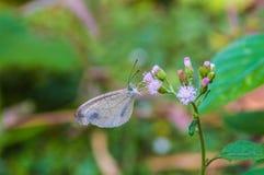 Bella farfalla degli occhi azzurri Fotografie Stock