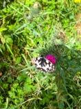 Bella farfalla del black&white che si siede sulla fioritura del questa fotografia stock libera da diritti