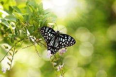 Bella farfalla macchiata nera & bianca di Papilio Immagini Stock Libere da Diritti