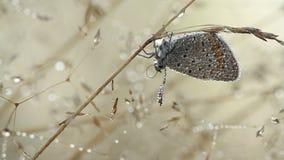 Bella farfalla nelle gocce di acqua alla mattina di estate video d archivio