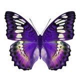 Bella farfalla porpora fotografia stock
