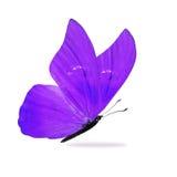 Bella farfalla porpora fotografia stock libera da diritti
