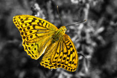 Bella farfalla su fondo in bianco e nero fotografie stock libere da diritti