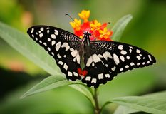 Bella farfalla su un fiore Fotografie Stock Libere da Diritti