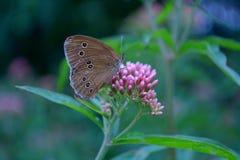 Bella farfalla su un fiore Immagini Stock