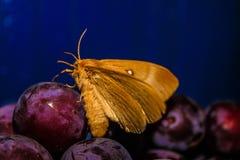 Bella farfalla sulla prugna immagini stock