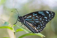 Bella farfalla tropicale che riposa su una foglia Immagine Stock Libera da Diritti