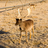 Bella fauna selvatica impegnata giovane Buck Elk Antlers Horns maschio Fotografia Stock