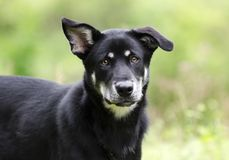 Husky mix breed dog, pet rescue adoption photography. Bella is a female black and tan Siberian Husky and Shepherd mixed breed mutt dog with one floppy ear and Stock Photo
