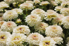 Bella fine bianca del fiore del crisantemo su Fotografie Stock