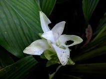Bella fine bianca di macro del fiore della curcuma su fotografia stock
