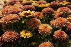 Bella fine del fiore del crisantemo su fotografia stock