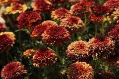 Bella fine del fiore del crisantemo su fotografie stock libere da diritti
